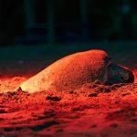 Nestende Schildkröte in Costa Rica