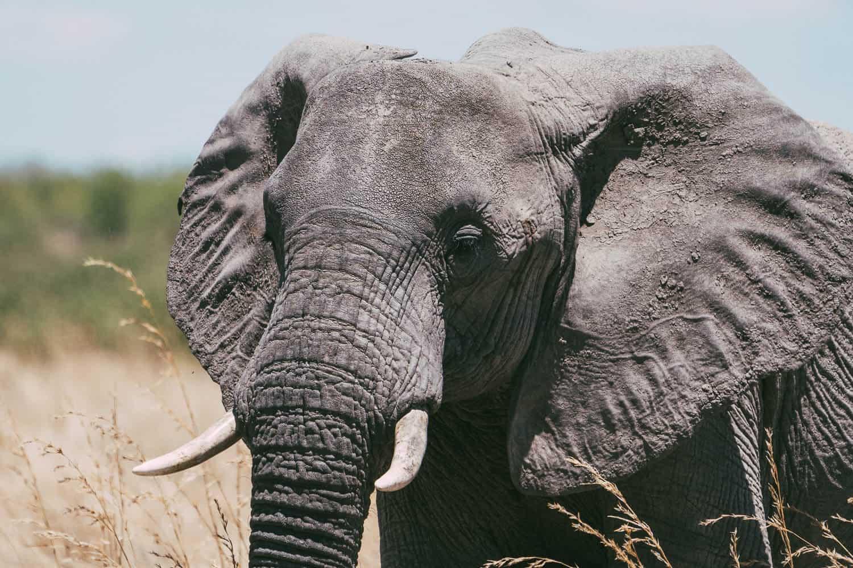 Elefant in Tanzania