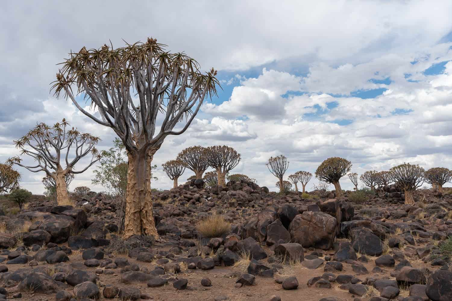 Quiver trees Namibia
