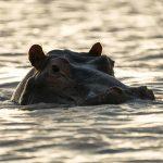 Tanzania Flusspferd-Kopf