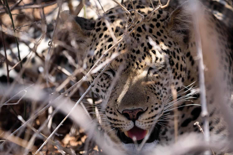 Tanzania Leopard Kopf