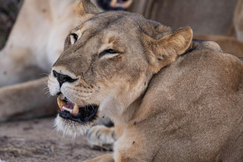 Tanzania Löwenweibchen