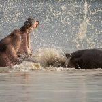 Tanzania Flusspferde Kampfszene