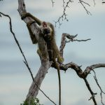 Tanzania Selous Baboon chillt